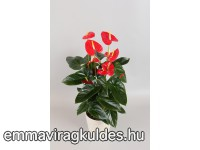 Cserepes Flamingóvirág / Anthurium andreanum